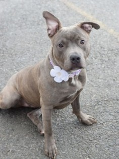 Brooklyn Center PIPER – A1073418 FEMALE, BR BRINDLE, AM PIT BULL TER MIX, 7 mos STRAY – STRAY WAIT, NO HOLD Reason STRAY Intake condition UNSPECIFIE Intake Date 05/12/2016, From NY 11221, DueOut Date 05/15/2016,