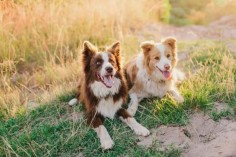 Brown border collie, Blonde border collie - Sherise Fleming