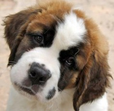 bubba the saint bernard
