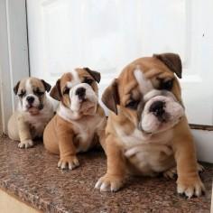 Bulldog babies!!