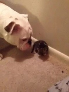 Bulldog meets a kitten for the first time.