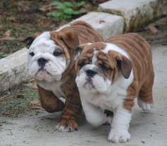 Bulldog Puppies!