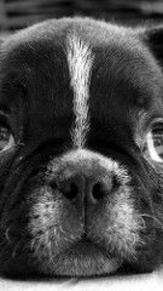 bulldog_puppy_dog_black_white_face_eyes_sadness_16715_640x1136 | Flickr - Photo Sharing!