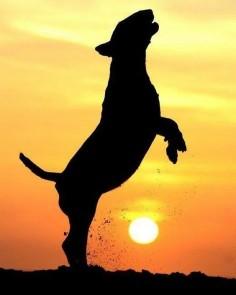#bullybreed #bullterrier #bullterriers #dogs #dogstagram #dogsofinstagram #sun #sunset #alicevankempen
