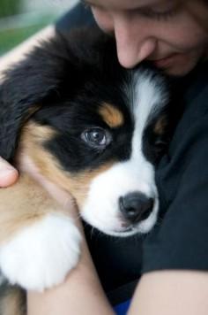 Burnese mountain dog puppy ♥