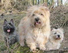 cairn terrier family~