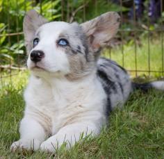 Cardigan welsh corgi pup I THINK I'M CHANGING MY MIND ON SEEKING ONLY PEMBROKE WELSH CORGIS