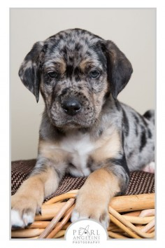 Catahoula   Difference between them and a blue Merle coated mixed breed dog is. A cathoula has a face like a lab but it's more broad in shape.