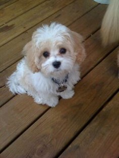 Cavachon Puppy ~ so sweet!! Can't wait til we bring our new puppy home!!