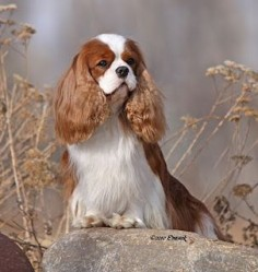 Cavalier King Charles, CH Miletree Northern Star