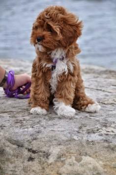 Cavalier King Charles Spaniel + Poodle = Cavapoo I Like!