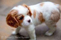 Cavalier King Charles Spaniel Puppy Dog |