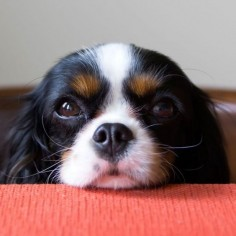 Cavalier King Charles Spaniel puppy. We know how cute and convincing they can be, but there are a number of reasons why giving your pup table scraps is dangerous. #woofipedia #woof
