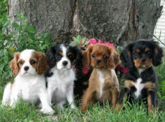 Cavaliers (blenheim, tricolor, ruby, black & tan) - I'll take one of each please ❤️