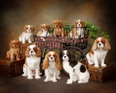 Cavaliers - I love this breed of dog. We have a Cavalier Poodle mix who is the best dog ever!!