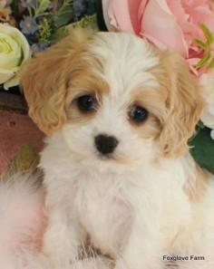 Cavashon bichon x cavalier king Charles Spaniel puppy