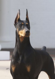Champion #Doberman #Pinscher