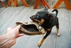 Cheeky snarling young pet dog chews his owner's shoe as they play together on wooden balcony of their family home. - Jade and Bertrand Maitre/Moment Open/Getty Images