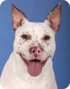 Chicago, IL - American Pit Bull Terrier/Cattle Dog Mix. Meet Toby a Dog for Adoption.