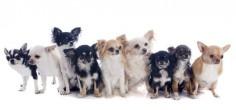 Chihuahua boeken - Google zoeken