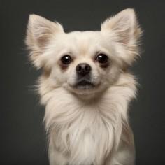 Chihuahua cutie pie