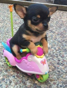 Chihuahua going for a ride #chihuahuadaily #teacupdogs #teacupchihuahua