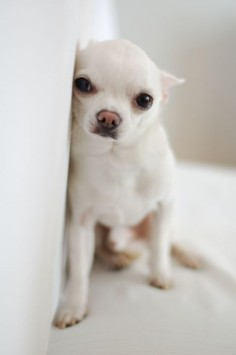 Chihuahua // need him