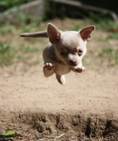 chihuahua- nice to see a chi in action for a change - they love to play