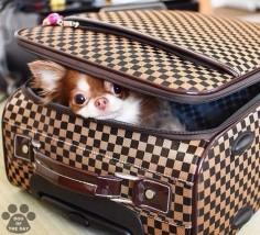 Chihuahua on vacation