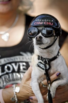 Chihuahua. Ride to Live, Live to Ride! so cute!