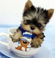 chihuahua shitzu yorkie | ... Royal Teacup Pomeranian, Maltese, Yorkie, Shih Tzu Puppies