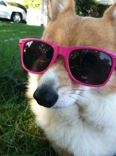 chillin like a villain #corgi