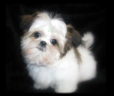 Chinese Imperial Shih Tzu, Imperials, Teacup, Toy, Miniature or Tiny Pocket Shih Tzu puppies, sweet, small size standard AKC Shih Tzu