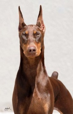Chocolate Doberman