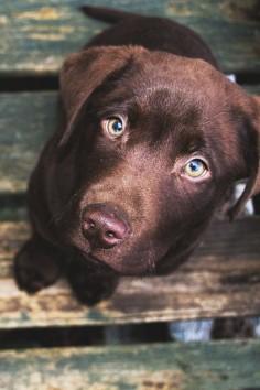 chocolate lab | animals + pet photography #dogs
