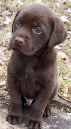 Chocolate Lab  is how my puppy looked 8 years ago! She is such a good dog!