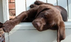 chocolate labrador puppy relaxing