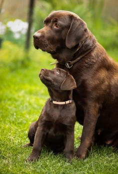 Chocolate Labradors, another favourite breed of mine. Luckily, I've we've got a family pet that's a chocolate labrador. Funny  he looks like the bigger dog in this picture