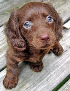 chocolate long haired miniature dachshund