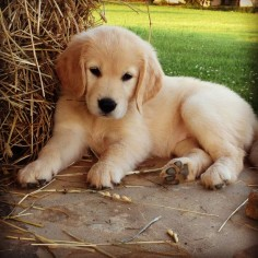 """Click visit site and check out Best """"Golden Retriever"""" t-shirts. This website is excellent. TIP: you can search your name or your favorite shirts at search bar on the top."""