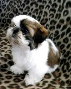 Click visit site and Check out Best Shih Tzu T-shirts. This website is top-notch. Tip: You can search your name or your favorite shirts at search bar on the top.