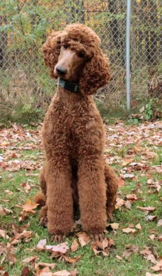 Clifford has the head tilt and Ninja Poodle down to a fine art! - Poodle Forum - Standard Poodle, Toy Poodle, Miniature Poodle Forum ALL Poodle owners too!