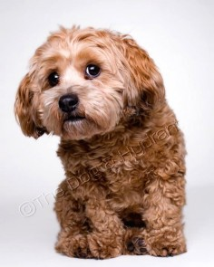 """Cockapoo. """"what did you say?"""""""