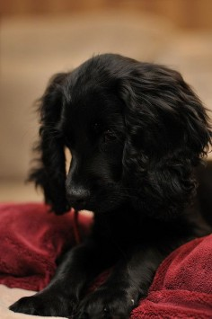 Cocker Spaniel (English / American)