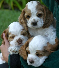 Cocker Spaniel Puppies by the handful