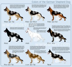 colors of the #German #Shepherd #Dog