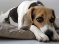 Conoce cuáles son los primeros síntomas del Moquillo en perros
