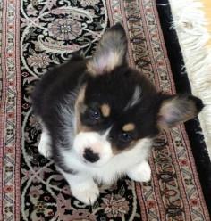 corgi , a cutie alert has been