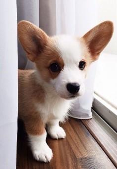 Corgi Puppy! #Corgis #puppies #dogs