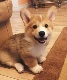 Corgis live to be 10 to 12 years old and are cute their whole life span, but estra cute as puppies.